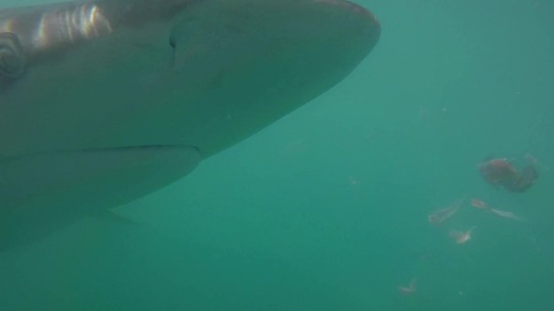 Jak wygląda paszcze rekina od środka? Oto wyjątkowe nagranie. Można się przestraszyć. Na szczęście ten rekin nie jest ludojadem.
