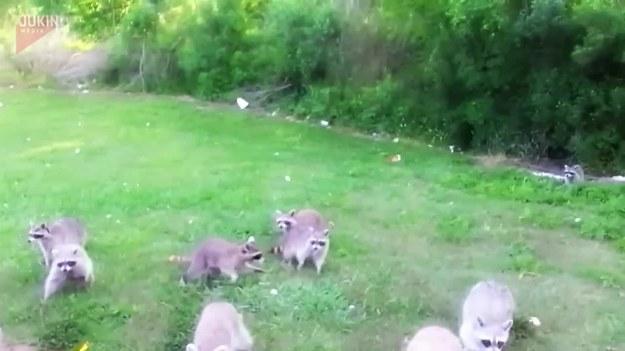 Para nagrała wideo na którym widzimy grupę szopów, które wręcz szaleją za chipsami. Najpierw rzucali im wszystkim naraz a później pojedynczo, gdzie każdy otrzymywał jednego chrupka do łapki, oddalając się, by go szybko zjeść.