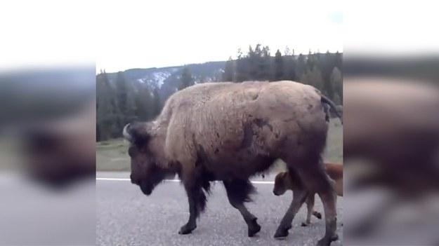 """Można sobie tylko wyobrazić jak bardzo zdziwieni musieli być kierowcy, kiedy zobaczyli, że przyczyną korka na tej drodze były… spacerujące bizony. Bizonia mama i jej młode za nic miały sobie """"śledzące"""" je auta i spokojnie dreptały po asfalcie. (STORYFUL/x-news)"""