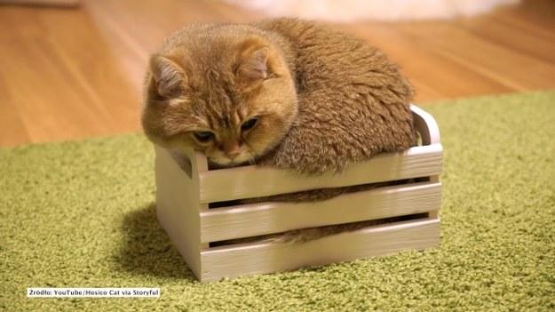 Kot Hosico upatrzył sobie idealne miejsce na drzemkę. Nie przejmuje się zupełnie tym, że drewniane pudełko jest zdecydowanie za małe - uparcie usiłuje się w nie wcisnąć i znaleźć wygodną pozycję. (STORYFUL/x-news)