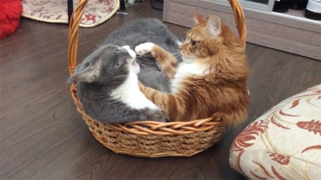Koty uwielbiają siedzieć we wszelkiego rodzaju koszykach i pudełkach. Problem pojawia się, gdy na ich terytorium wkracza... inny osobnik. Jak wygląda kocia walka o ulubiony koszyk? (STORYFUL/x-news)