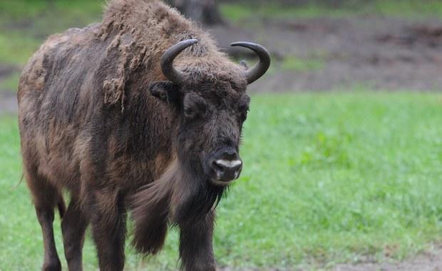 Niedaleko miejscowości Olchowa na terenie Nadleśnictwa Lesko znaleziono dwa martwe żubry. Prawdopodobnie zabił je niedźwiedź - poinformował PAP w poniedziałek rzecznik prasowy Regionalnej Dyrekcji Lasów Państwowych w Krośnie Edward Marszałek.