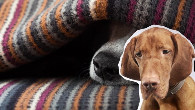 Niejeden właściciel psa zgodzi się, że nie poranne, a właśnie wieczorne spacery z ukochanym czworonogiem to relaksujący obowiązek po ciężkim dniu w pracy, z którego zadowolone są obie strony. Miłośnicy zwierząt z Provo w amerykańskim stanie Utah nie uświadczą jednak tej przyjemności. Obowiązuje tu bowiem przepis, zabraniający wychodzenia psom z domu po godzinie 19:00. Wytrwalsi pupile z pewnością przetrwają do rana – w imię prawa oczywiście. Co jednak z tymi z natury zbuntowanymi, którzy przepisy mają głęboko w… psim nosie?
