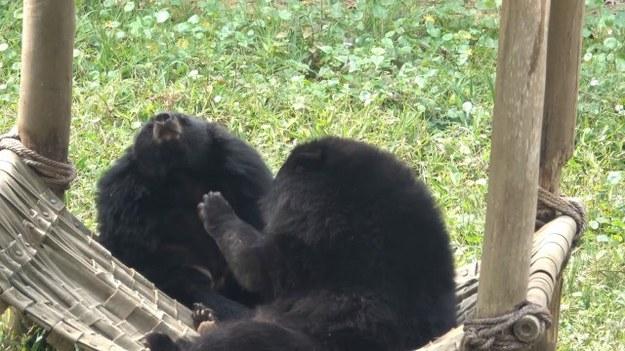 Te niedźwiadki wiedzą, że najlepiej wypoczywa się na hamaku. Obydwa zwierzaki mają swój jeden ulubiony, na którym uwielbiają leżeć. Niestety miejsca wystarcza tylko na jednego z nich, więc czasami muszą one stoczyć walkę. Który z nich tym razem okaże się silniejszy? (STORYFUL/x-news)
