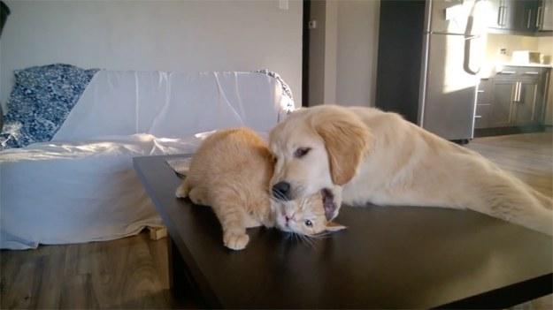 Jak wszyscy wiemy, psy i koty niespecjalnie dogadują się ze sobą. Czy to jednak jest na poważnie? Zobaczcie harce Simby i Fireballa, którzy ewidentnie robią sobie żarty. Szczeniak udaje nawet, że zjada kota! (STORYFUL/x-news)