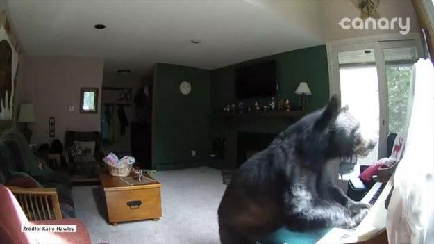 Mieszkańcy tego domu w miejscowości Veil w Stanach Zjednocznych byli w szoku, kiedy zobaczyli nagranie z kamery przemysłowej zainstalowanej w ich domu. Na filmiku widać, jak do domu włamuje się niedźwiedź, buszuje wewnątrz i ...gra na pianinie. (STORYFUL/x-news)