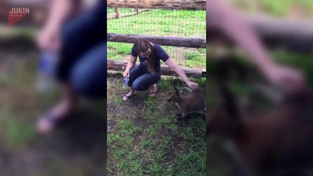 Para turystów odwiedziła pewną farmę w Kolumbii Brytyjskiej w Kanadzie. Kobieta głaskała młodego kangura. Zdarzeniu przypatrywała się z boku kangurza matka. Kiedy mężczyzna skierował kamerę właśnie na nią, z jej torby lęgowej wystawił głowę jeszcze jeden maluch.