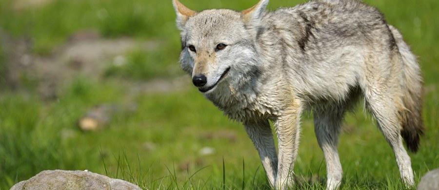 Hodowcy owiec we Francji biją na alarm z powodu szakali, które widziano ostatnio w Alpach. Obawiają się, że podobnie jak wilki, drapieżniki te staną się ich utrapieniem.