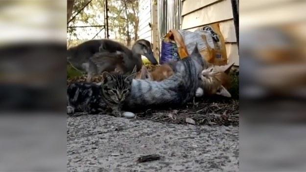 Kaczka Kitty była ostatnia do wylęgu, dlatego też reszta jej kaczej rodziny porzuciła ją. Szczęślinie dla niej, została znaleziona przez kotkę Unicorn i zabrana do jej małych kociąt. Zwierzątko szybko zaprzyjaźniło się z nimi, stało się częścią ich rodziny i lubi spędzać czas na wspólnej zabawie ze swoim nowym kocim rodzeństwem. (STORYFUL/x-news)