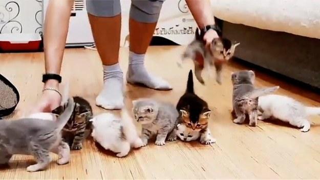 Właściciel gromady małych kociaków postanowił zrobić im zdjęcie grupowe. Chciał ustawić je w jednym miejscu, ale okazało się to trudniejsze niż przypuszczał. Czy to w ogóle możliwe? (STORYFUL/x-news)