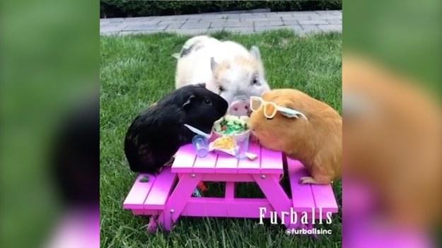 Dwie świnki morskie rozkoszowały się podczas pikniku na zielonej trawce. Jednak ich spokój został zakłócony. Miniaturowa świnka o imieniu Betsy brutalnie im przerwała. Jak to się skończyło? (STORYFUL/x-news)