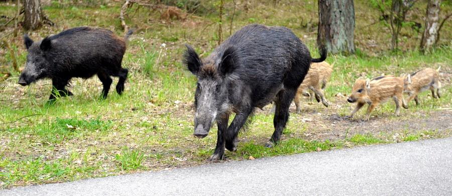 40 martwych dzików odnaleziono w tym tygodniu w podwarszawskiej gminie Konstancin-Jeziorna. Wszystkie padły z powodu afrykańskiego pomoru świń. Jak informują służby, to lasy w okolicach stolicy są ostatnio największym ogniskiem ASF.