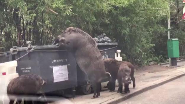 """Gigantyczny dzik został przyłapany przy śmietniku w Hongkongu. Ogromna świnia, która w mediach społecznościowych jest nazywana """"Pigzilla"""" i """"Hogzilla"""", stojąc na dwóch łapach, była znacznie wyższa od samego kosza. Wokół niej chodziły warchlaki. Dziki w Hongkongu nie są niczym niezwykłym, ale ten okaz był wyjątkowo duży."""