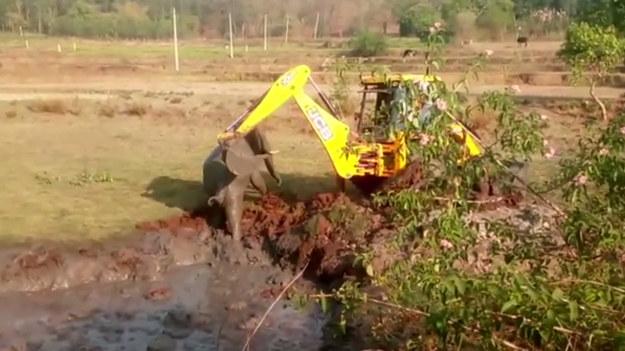 Strażnicy leśni musieli użyli koparki, aby uratować słoniątko, które utknęło w bagnie. Zwierzę spędziło tam noc i ledwo żyło z wyczerpania. Akcja ratunkowa się udała, ale... reakcja słonia zaskoczyła wszystkich.