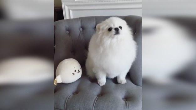 Ten pies histerycznie reaguje na naśladującą go maskotkę. Zwierzę nie wie, co zrobić, by uciszyć pluszaka. Czy wyjściem z sytuacji jest wzajemne przedrzeźnianie? (STORYFUL/x-news)