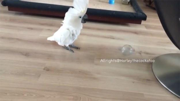 Papudze Harley znudziła się już zabawa plastikowymi kubeczkami. Ptak wymyślił sobie nowe zajęcie. Zwierzę rozładowuje napięcie, rzucając po domu plastikową butelką. (STORYFUL/x-news)