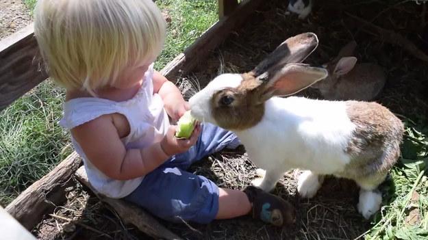 Dziewczynka i królik dzielą się jednym jabłkiem. Wyglądało to uroczo. Niestety, w pewnym momencie królik zmęczył się dzieleniem i... porwał owoc. Mina dziecka bezcenna.