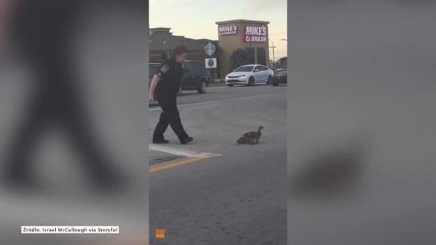 """Pewna policjantka z Louisville w Kentucky zatrzymała ruch na jednej z ulic, żeby przeprowadzić przez nią kaczkę z młodymi. Na filmie nagranym przez świadka widać policjantkę, która """"pogania"""" kaczki przez drogę w kierunku pobocza. Policja nie poinformowała, czy kaczki otrzymały mandat za przejście w niedozwolonym miejscu. (STORYFUL/x-news)"""