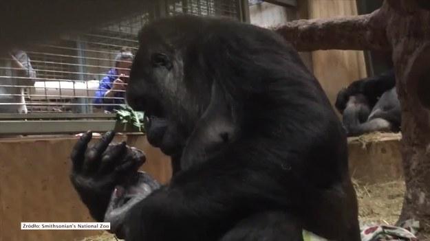 Samiec goryla nizinnego urodził się w Smithsonian National Zoological Park w Waszyngtonie. To pierwszy samiec urodzony w tym zoo od 9 lat. Wzruszający poród gorylątka nagrali pracownicy ogrodu. Na filmie widać wielką troskę z jaką matka samodzielnie odbiera swojego potomka. Młody samiec otrzymał imię Moke. Jego dumną mamą jest 15-letnia Calaya. (STORYFUL/x-news)