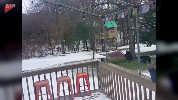 Pewna rodzina niedźwiedzi odwiedziła podwórko mężczyzny. Zainteresowane hamakiem podeszły do niego, by sprawdzić co to. Finał? Przekonajcie się sami.