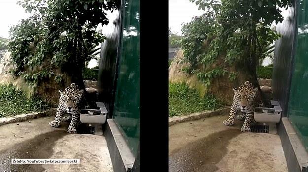Ten jaguar chyba nie przepada za kamerą. Perseu ma rok i mieszka w brazylijskim ośrodku Criadouro Onca Pintada. Gosia, wolontariuszka placówki, postanowiła uwiecznić na nagraniu ulubioną zabawę dzikiego kota. Jaguar udaje, że nie widzi danego przedmiotu - w tym wypadku kamery - żeby ostatecznie rzucić się na niego z zaskoczenia. (STORYFUL/x-news)