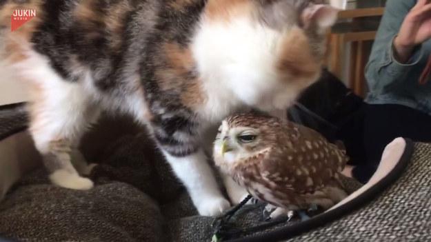 Kot o imieniu Marimo, był podekscytowany kiedy znów mógł się zobaczyć ze swoim przyjacielem, sową Fuku. Aby pokazać mu jak bardzo mu go brakowało, zaczął go lizać po głowie. Uroczy widok