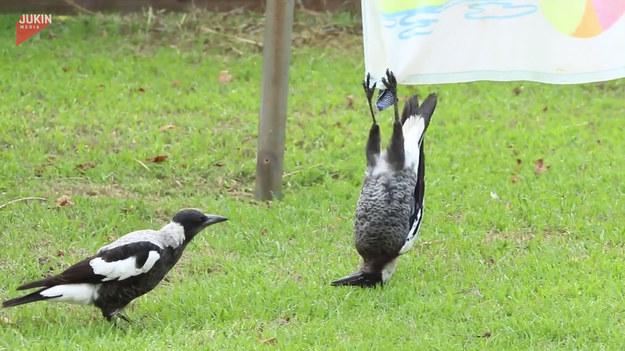 Czy ktoś może wytłumaczyć co robi ta sroka? Postanowiła naśladować nietoperza czy co? Nawet kolega, który podszedł do ptaka był zdziwiony co robi.