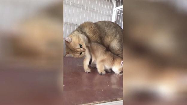 Kocia mama i jej zabiegi higieniczne na małym kociaku. Mina kotki bezcenna.