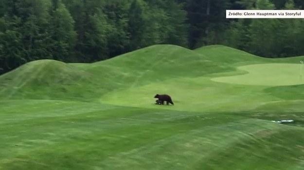 Klubowicze zebrani na polu golfowym w Kimberley w Kolumbii Brytyjskiej musieli przerwać grę z powodu intruzów. Na polu pojawiły się bowiem dwa niedźwiedzie - prawdopodobnie matka z dzieckiem - które nic sobie nie robiąc z obecności golfowiczów przespacerowały się