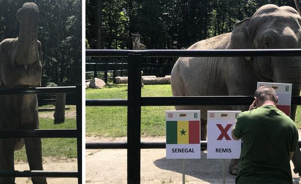 Zwierzęta typujące wynik meczów podczas wielkich imprez sportowych to już właściwie tradycja. Dlatego i w czasie mundialu w Rosji tego elementu nie może zabraknąć! W tym roku wyniki meczów typować będzie słonica Citta z krakowskiego zoo. Mogliście już ją poznać przy okazji Euro 2012.