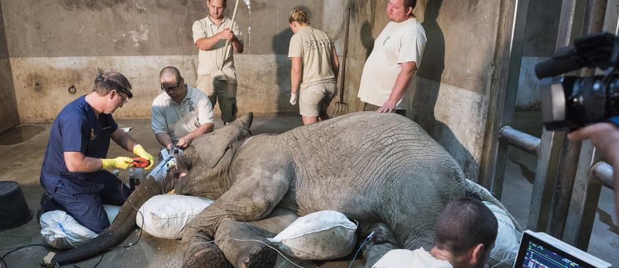 Trzy lata leczenia nie przyniosły pozytywnego efektu. Złamany cios trzeba było usunąć. Skomplikowany zabieg u słonia mieszkającego w jednym z węgierskich zoo wykonał dr Gerhard Steenkamp z RPA - jeden z trzech specjalistów na świecie, którzy wykonują taki zabieg.