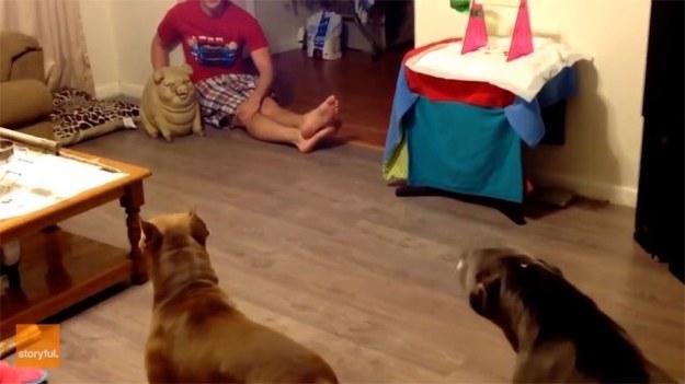 Z pozoru groźne psy wystraszyły się... figurki świni. Ze strachu czworonogi zaczęły przeraźliwe głośno szczekać. Dla spokoju swojego i swoich pupili właściciele musieli usunąć figurę z salonu. (STORYFUL/x-news)