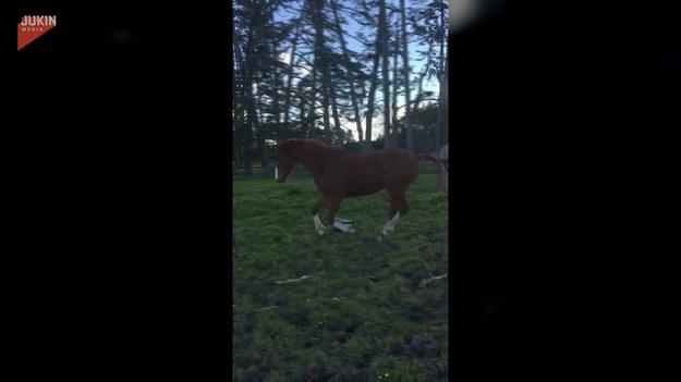 Koń o imieniu Legolas, kiedy widzi swoją ulubioną piłkę nie może opanować radości. Zobaczcie jego wesołą zabawę.