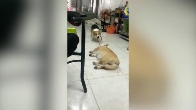 Zdeterminowany pies ciągnie swojego przyjaciela na spacer. Ten jednak pozostaje niewzruszony. Właściciel zwierzaków twierdzi, że leniwy pies często tak postępuje. Czy Dudu wyciągnie swojego kompana na zewnątrz?