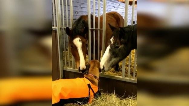 Taki to ma dobrze! Stajnia, którą odwiedził ten pies, okazała się dla niego… salonem piękności! 2 konie postanowiły wyskubać mniejszego kolegę i przy okazji zrobić mu masaż. Pozazdrościć? (STORYFUL/x-news)