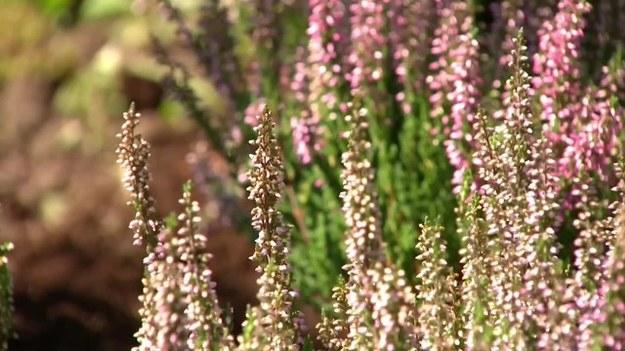 Kalendarzowe lato zbliża się do końca. Jednak w ogrodach nadal jest mnóstwo kolorów. Ogrodnik Łukasz Skop pokazał, jak posadzić wrzosy. Jakie miejsce dla nich wybrać? Jak je zasadzić? (Dzień Dobry TVN/x-news)