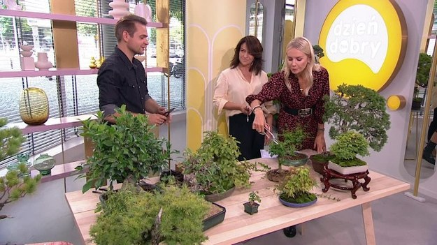 Bartosz Warwas to pasjonat sztuki bonsai. W studiu programu powiedział, jakie drzewka nadają się na bonsai. Pokazał też, jak prawidłowo przycinać gałązki. (Dzień Dobry TVN/x-news)