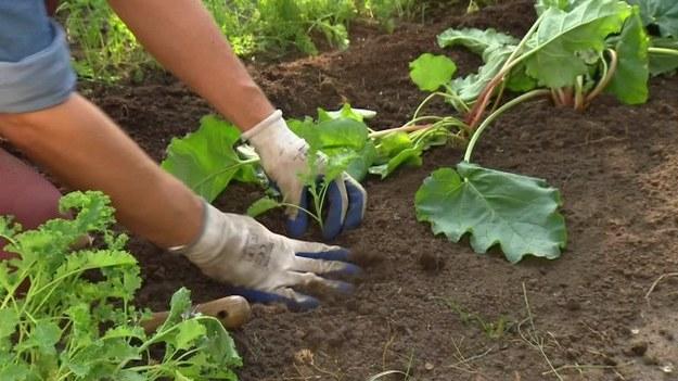 W ostatnim tygodniu września to drzewa i krzewy zwracają na siebie uwagę dojrzewającymi owocami. Jak zadbać o to, żeby mieć pyszne warzywa do końca roku? Jakie są zalety siania warzyw w szklarni? (Dzień Dobry TVN/x-news)