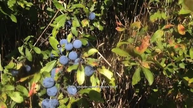 Czym jest tarnina? Wyjaśnił to etnobotanik Jan Motyka. Gdzie rośnie ta roślina i jakie ma właściwości? (Dzień Dobry TVN/x-news)