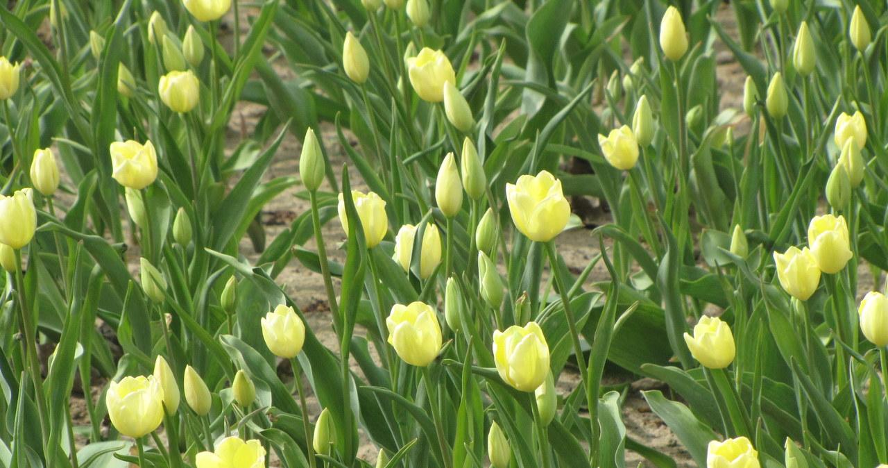 1 maja zakwitną tulipany Maria Kaczyńska
