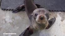 18-miesięczna foka wraca do naturalnego środowiska. Jak wyglądała pierwsza chwila wolności?