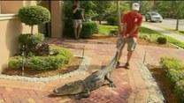 2,5-metrowy aligator na wycieraczce!