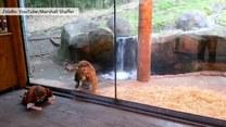 2-latek i tygrys bawią się razem