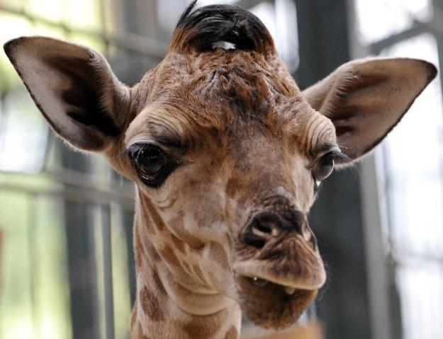 20-letnia żyrafa Griffy nie jest agresywna, bardzo lubi być blisko ludzi /AFP