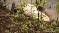 200-kilogramowy aligator grasował po osiedlu