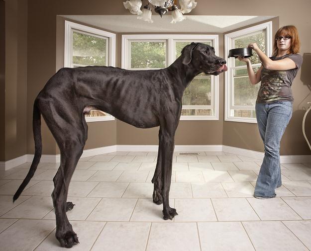 3-letni Dog niemiecki Zes z Otsego w Michigan (USA) ze swoją właścicielką Denise Doorlag /AFP