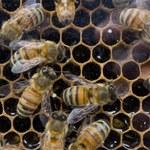 30 000 pszczół w amerykańskim domu
