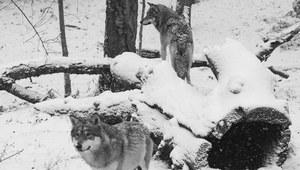 4 stycznia 1978 r. Odstrzał wilków na Podkarpaciu