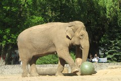 50. urodziny słonicy Magdy z łódzkiego zoo