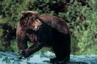 Ameryka Północna: niedźwiedź grizzli /Encyklopedia Internautica